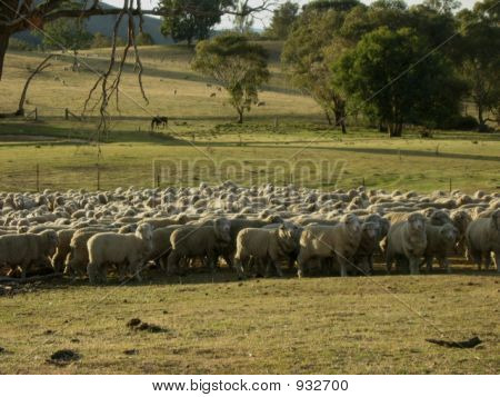 Australian Mernio Sheep