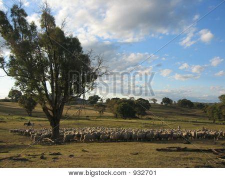 Australian Sheep Mustering