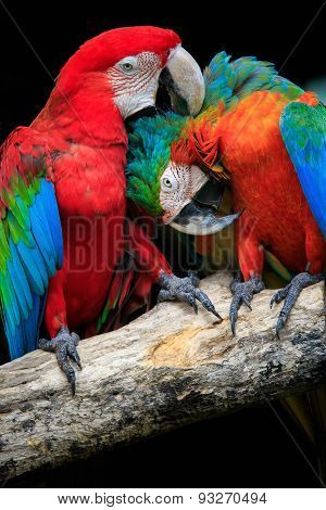 Close Up Couples Of Beautiful Of Scarlet Macaw Birds Peaning And Perching On Dry Tree Brand Against