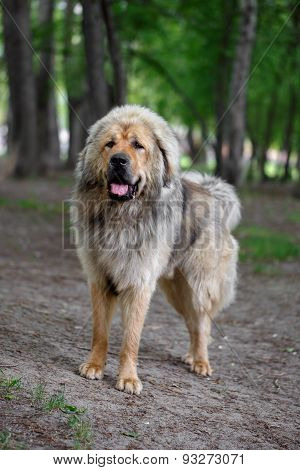Adult Tibetan Mastiff Stands Outdorrs