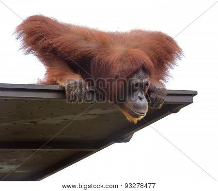 Adult Orangutang Looking Down From Its Platform