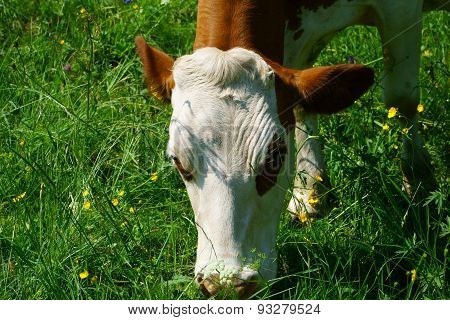 Close Up Of A Dairy Cow On A Pasture