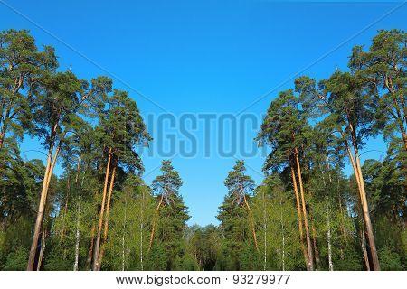 Pine Forest Under Deep Blue Sky