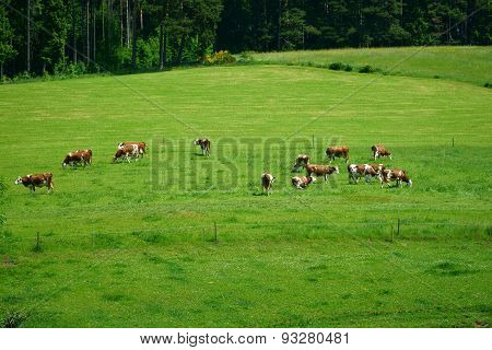Countryside With Grazing Cows