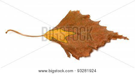 Dry Autumn Leaf Of Birch