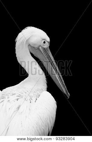 Black-and-white Pelican