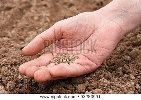 Hand Holding Dill Seeds