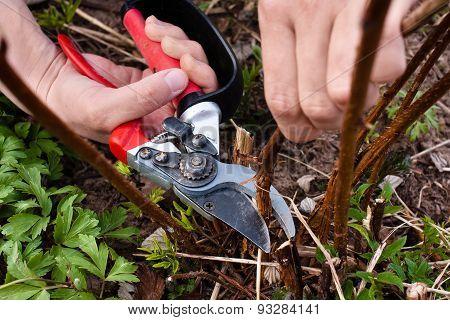 Pruning Raspberry