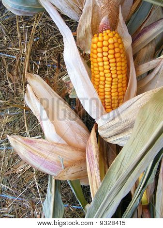 Ear of corn on stalk
