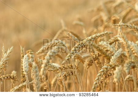Time is for harvest - wheat field