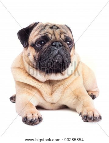 Adult Pug