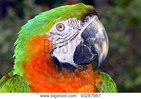 Green and orange macaw