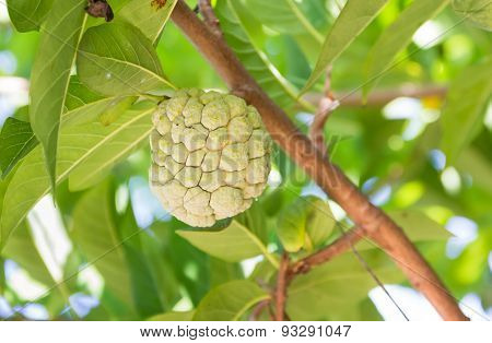 custard apple on tree