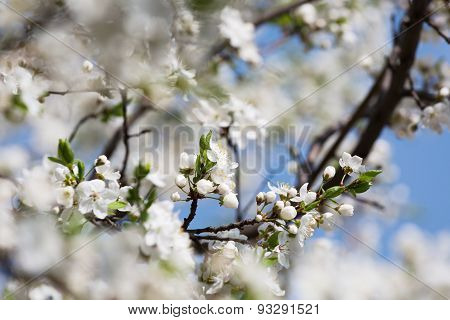 Blossoming Cherry Orchard In Sunny Spring Day