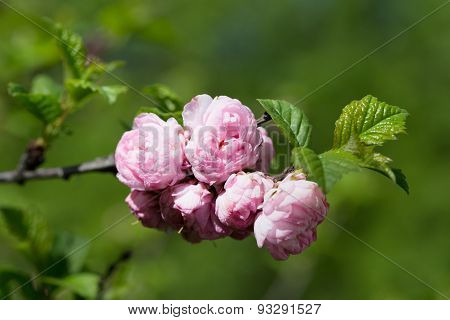 Oriental Cherry Sakura Branch With Pink Flowers On A Green Background