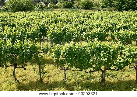vineyards of Tokaj, Hungary