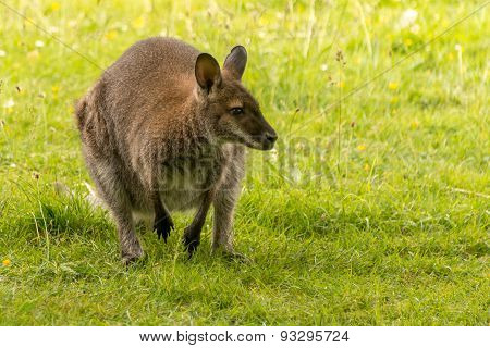 Wallaby Crouched On Back Legs In Field