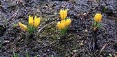 image of early spring  - Yellow crocus flowers in the garden in early spring - JPG