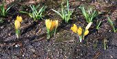 picture of early spring  - Yellow crocus flowers in the garden in early spring - JPG