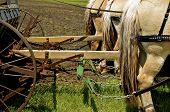 stock photo of harness  - A team of horses harnessed horses are in a field pulling a grain drill