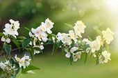 stock photo of jasmine  - beautiful blooming branch of jasmine outdoors on a sunny day - JPG