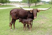 stock photo of calf cow  - A reddish - JPG