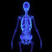 picture of digestive  - The skeleton is the body part that forms the supporting structure of an organism - JPG