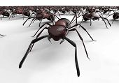 foto of ant  - black ants isolated on a white background - JPG