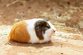 stock photo of guinea pig  - Guinea pig or hamster on the ground - JPG