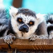 stock photo of zoo  - Closeup of head portrait of angry lemur in zoo - JPG