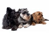 picture of schnauzer  - Portrait of Black Terrier Grey Schnauzer and Yorkshire Terrier Lying Side by Side and Looking to Side in Same Direction in Studio on White Background - JPG