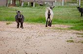 pic of rear-end  - shot of the rear ends of goats in zoo - JPG