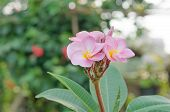 stock photo of frangipani  - Bunch of pink Frangipani Frangipanni or plumeria tropical flowers - JPG