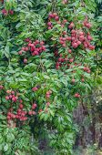 picture of orchard  - fresh lychee on tree in lychee orchard - JPG