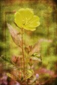 picture of primrose  - Photo of a evening primrose a delicate yellow flower with artistic texturing applied to the background - JPG