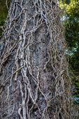 stock photo of dash  - Thick dead vines cling to an evergreen tree at Dash Point State Park in Washington State - JPG