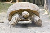 image of spurs  - A giant African spurred tortoise  - JPG