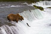 stock photo of mating bears  - The sockeye salmon return every year at this time in July to spawn in the Brooks river in Katmai National Park - JPG