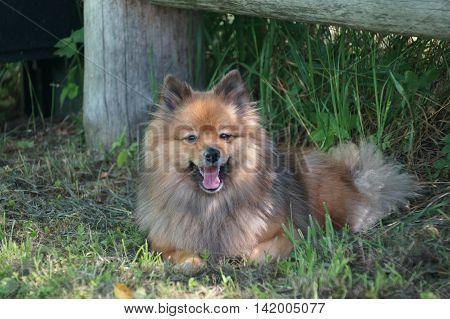 Dog Breeds Of German Spitz Resting
