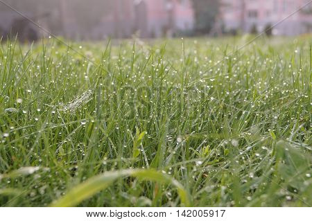 Dew Drops On Green Grass Early  A Sunny Morning