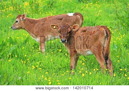 calves standing in a field of Buttercups