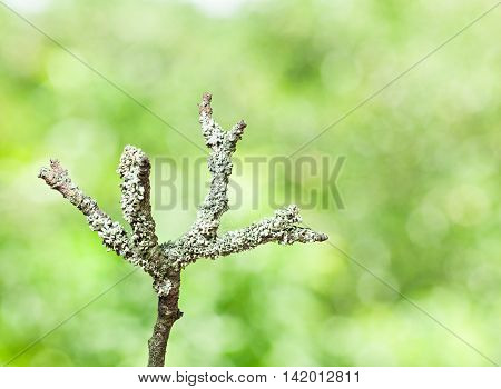 Macro of grey lichen on withered dry branch over green forest background