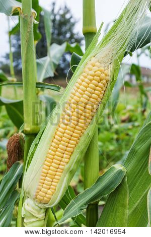 Head of young sweet corn growing in a field closeup