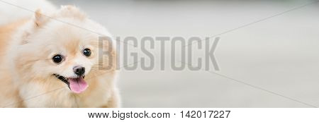 Cute pomeranian dog smiling funny with copy space horizontal rectangular image focus on the eye