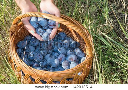 Persons Hands Putting Fresh Plums Into The Basket