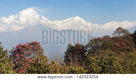 Dhaulagiri. Mount Dhaulagiri from Poon Hill view point and red rhododendrons Nepal