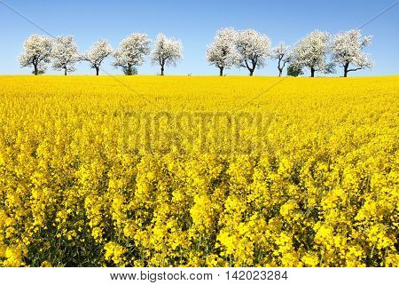 field of rapeseed and alley of cherry tree rapeseed is the best plant for green energy and oil industry