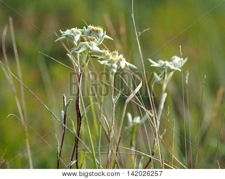 Edelweiss crowding (Leontopodium conglobatum) is a rare plant of Yakutia