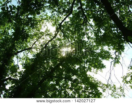 the sun's rays shine through the crown of oak leaves illuminated green.