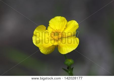 Flower of a Greater Spearwort (Ranunculus lingua).